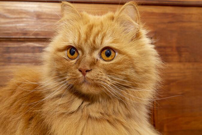 华丽的橙色波斯猫深凝视