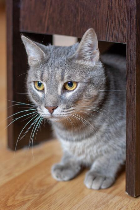 灰猫 黄眼睛 长胡子 安静地坐在拼花地板上的椅子下面
